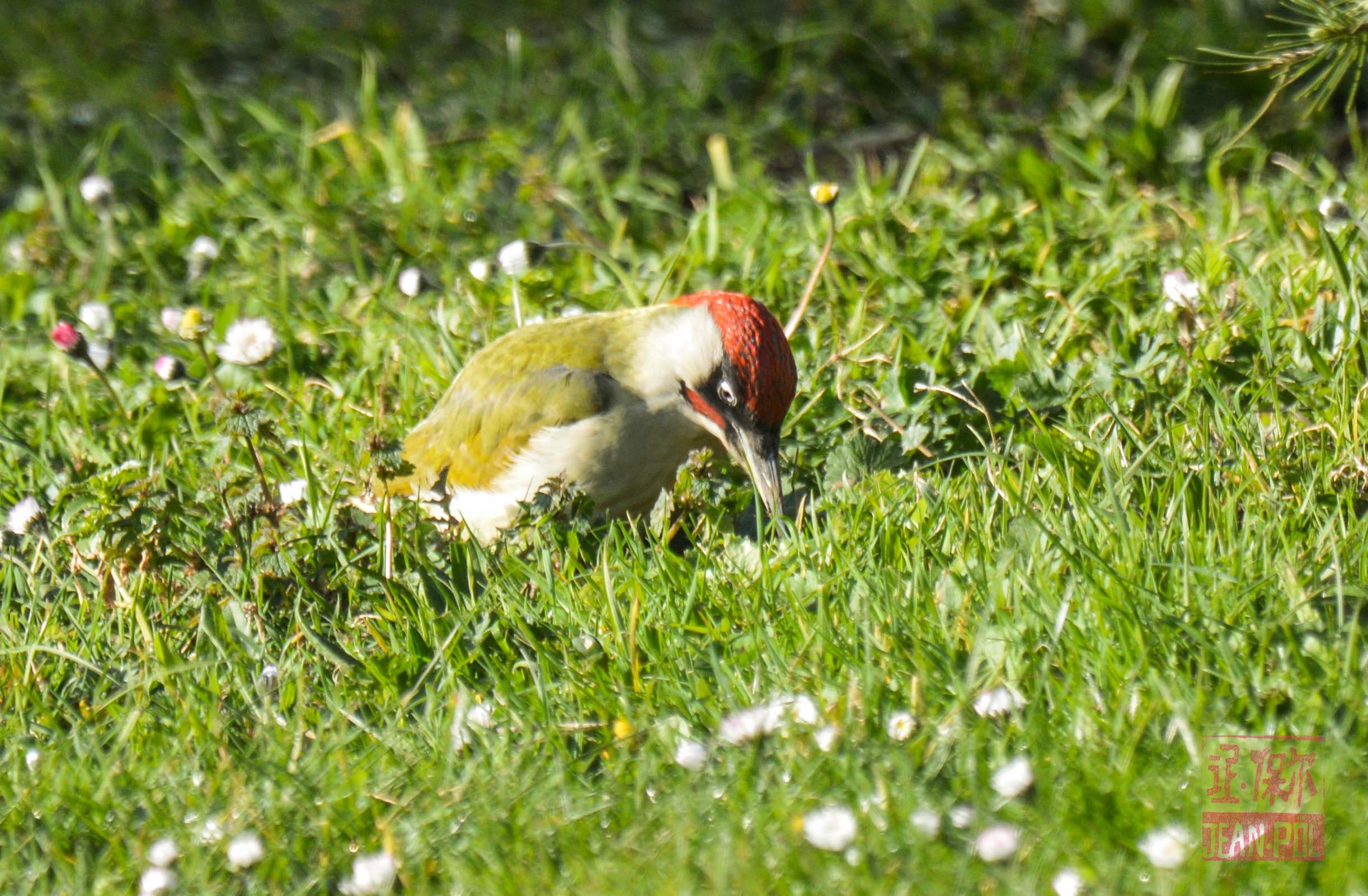 Pic vert qui est bien content de trouver des vers, dans une herbe plus haute.