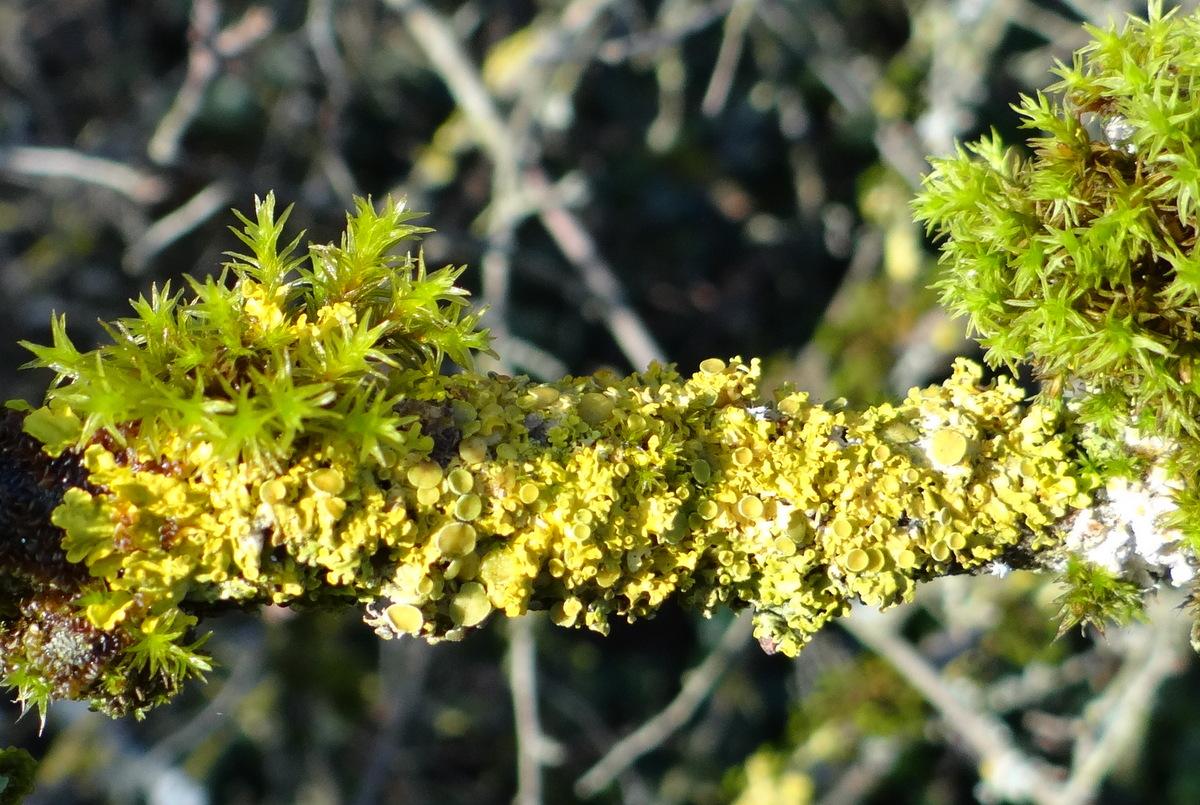 Xanthoria parietina sur une branche de prunellier à Cergy