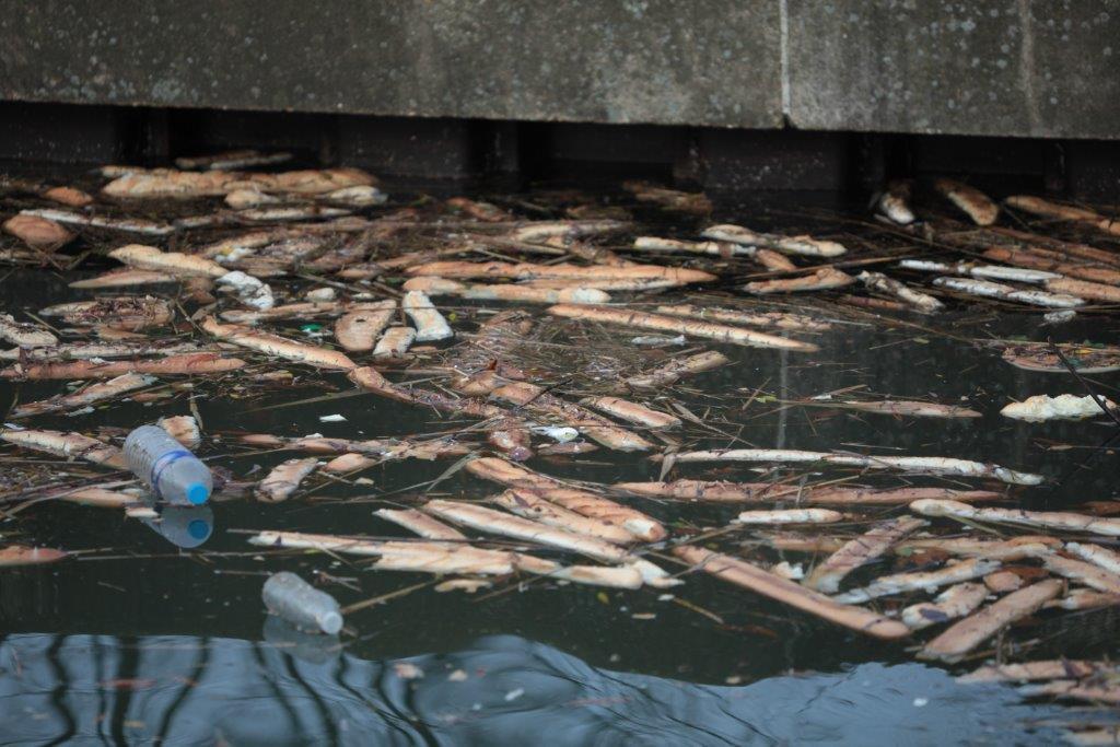 Pains jetés par dizaines dans le lac de Créteil, le transforme en poubelle, un régal pour les Rats dont la population se développe rapidement !