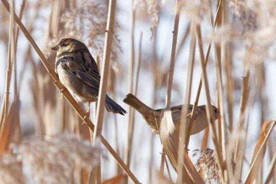 Moineau domestique Passer domesticus - House Sparrow : Michel NOËL © 2017 IMG_8886