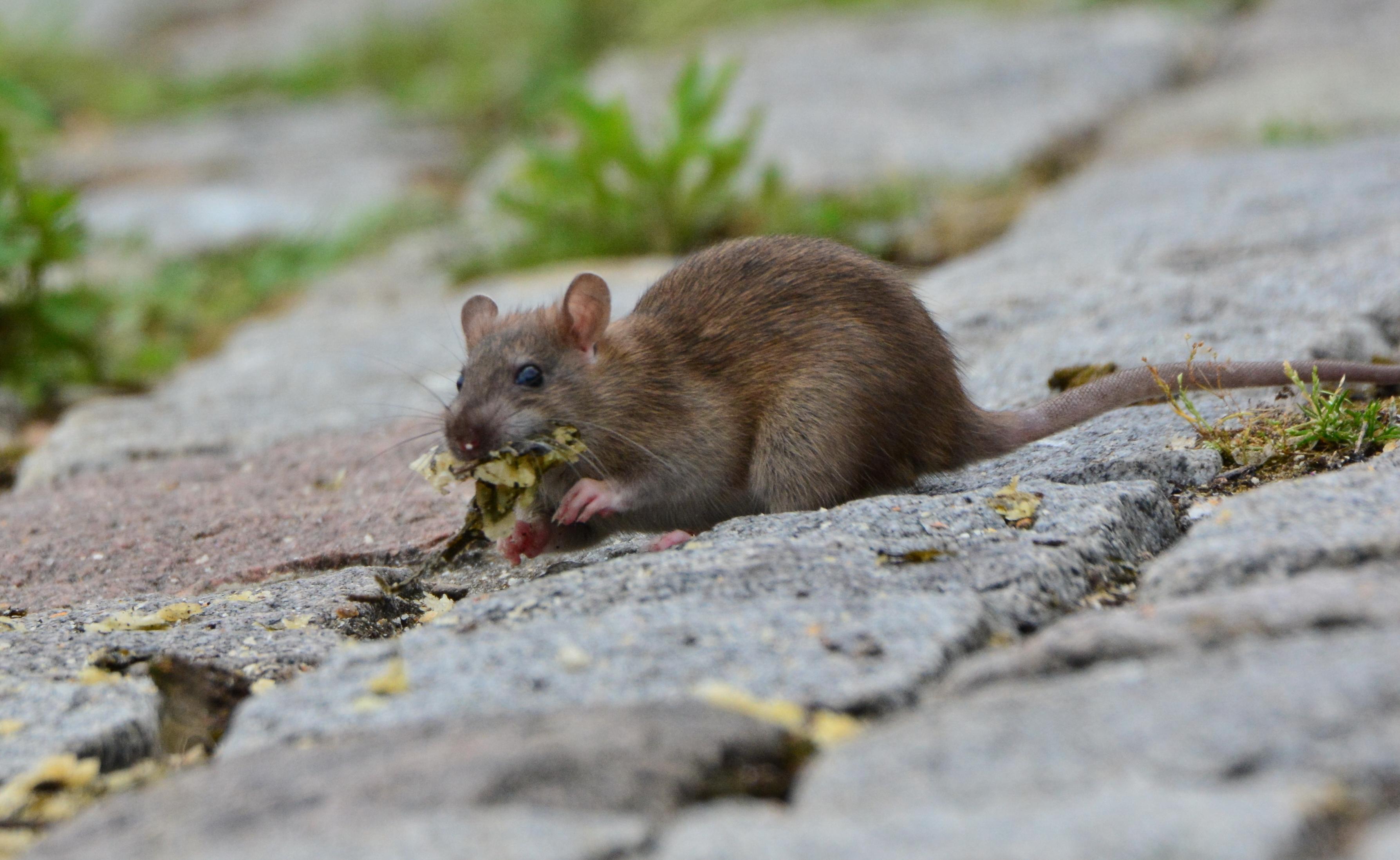 Repas d'un des Rats du Port (2)
